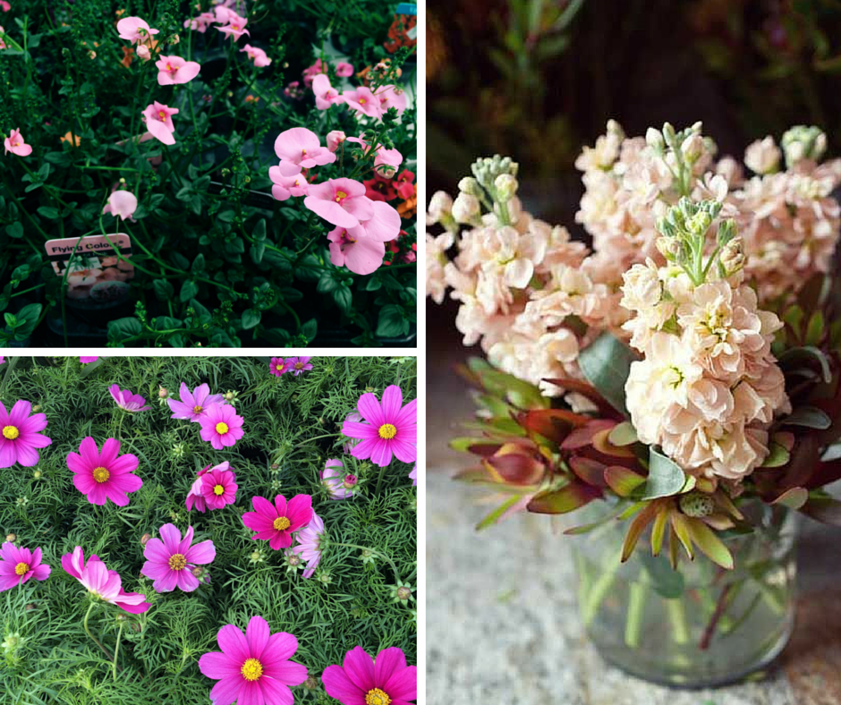 Top left: Diascia, bottom left: Cosmos, right: Stocks (Stocks photo courtesy of Pinterest)