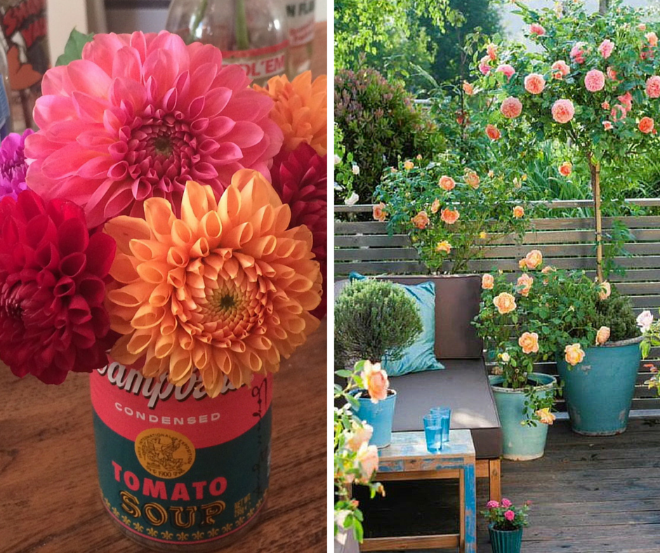 Pom Pom Dahlias and Patio Roses (Patio Rose photo courtesy of Pinterest)