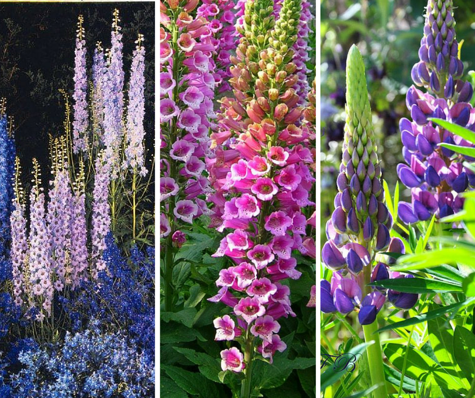 From left to right: Delphiniums, Foxgloves, Lupins. All three photos courtesy of Pinterest.