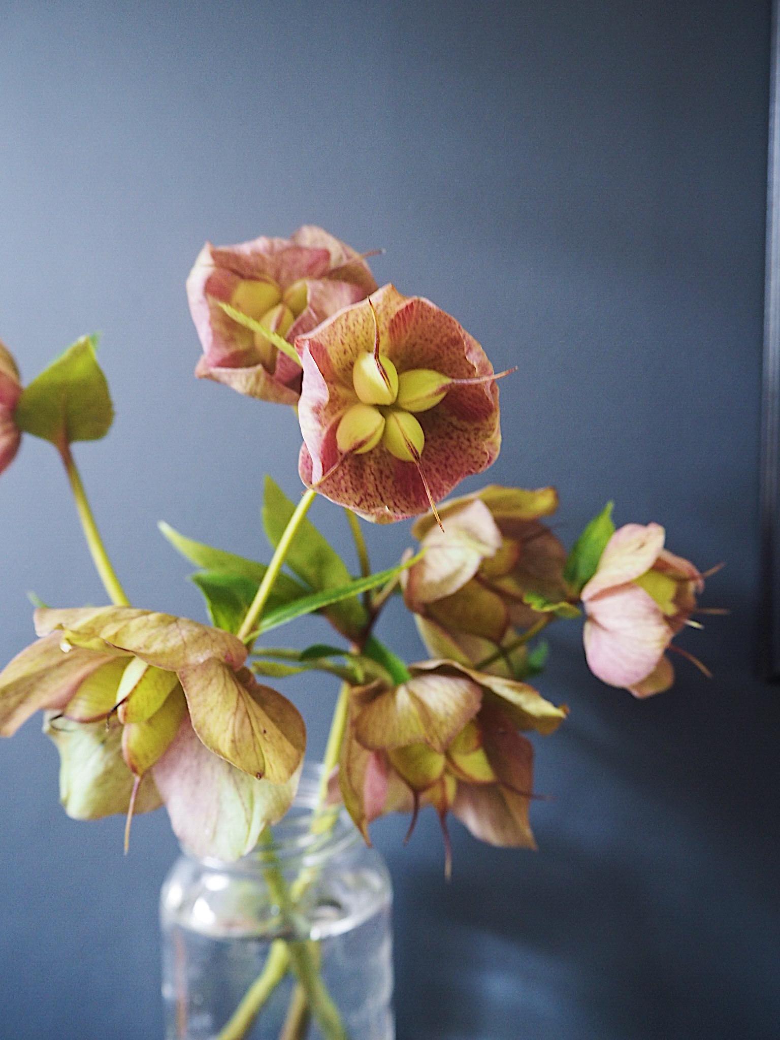 Hellbore flowers against Railings by Farrow & Ball