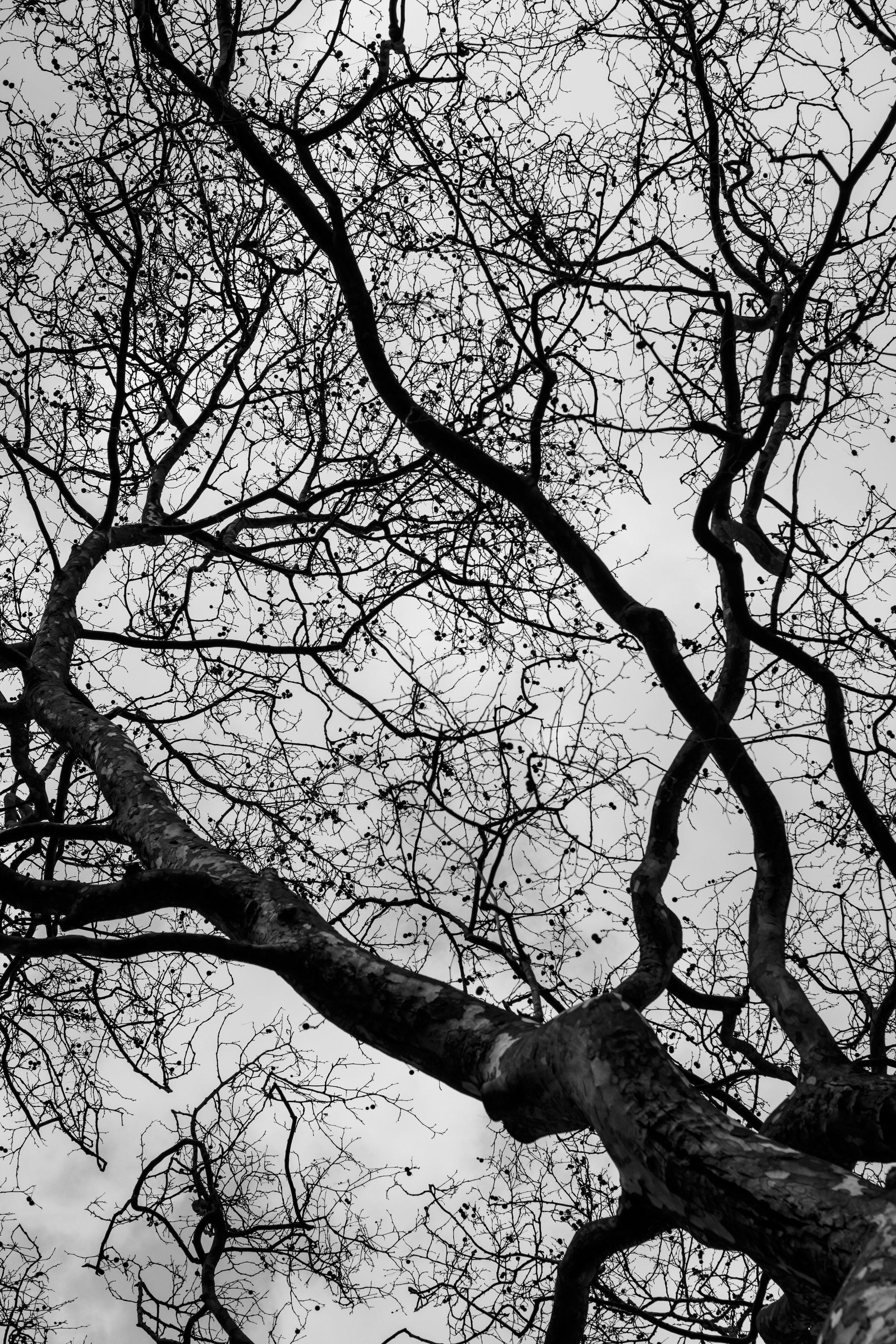 London plane tree2.jpg