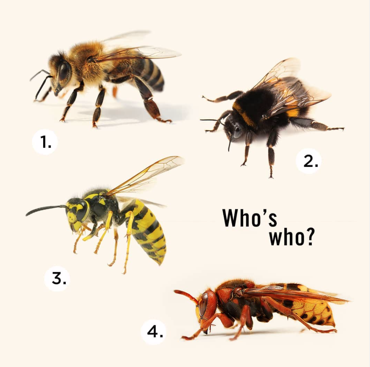 Learn the difference: 1. Honey bee 2. Bumble bee 3. Wasp 4. European Hornet
