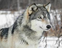 The Handsome grey wolf, Domestic dogs are thought to be directly descended from this line