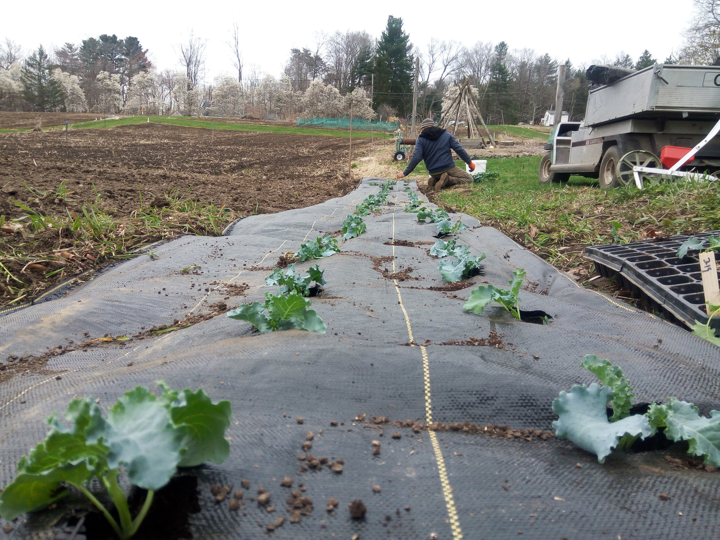 The first kale of the season goes into the ground!