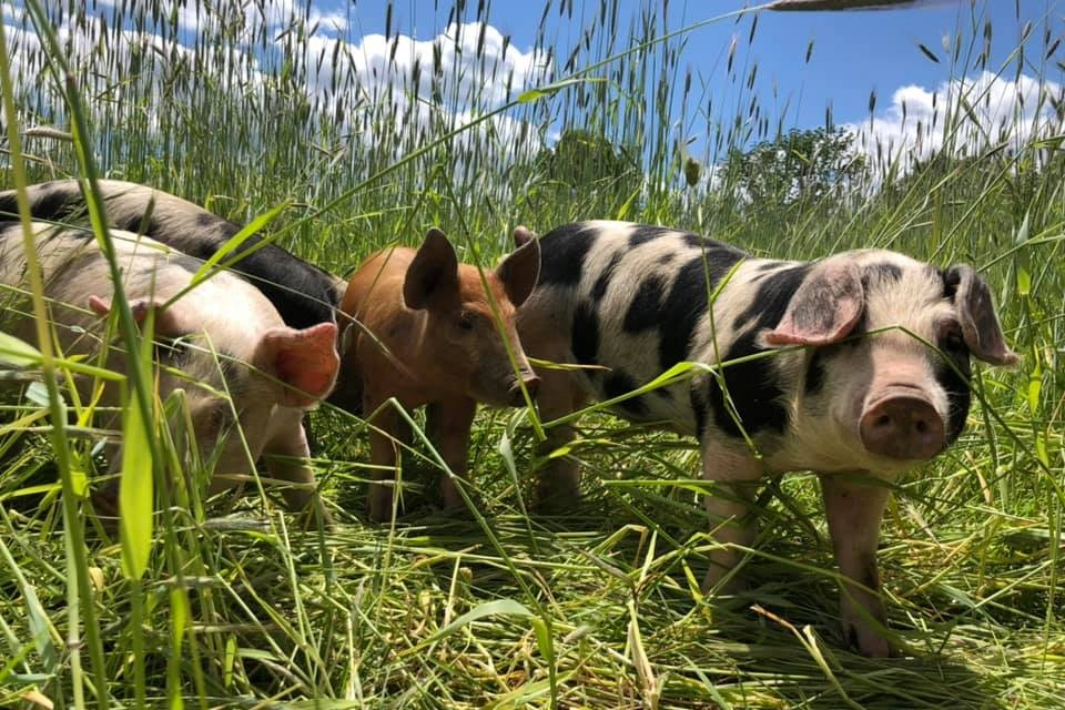 New Codman piglets, enjoying the sun and the fresh grass!