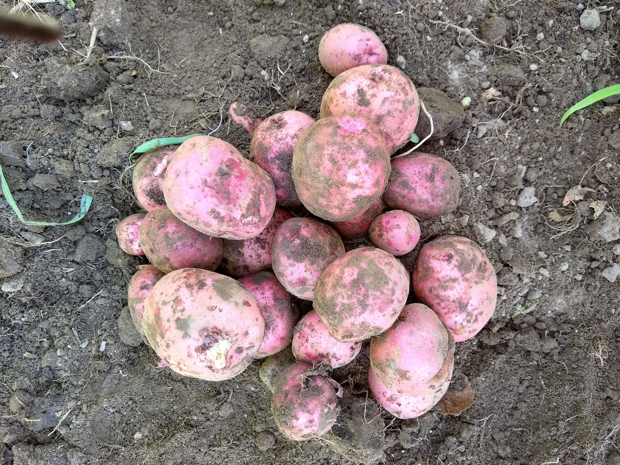 Look at those beautiful spuds!