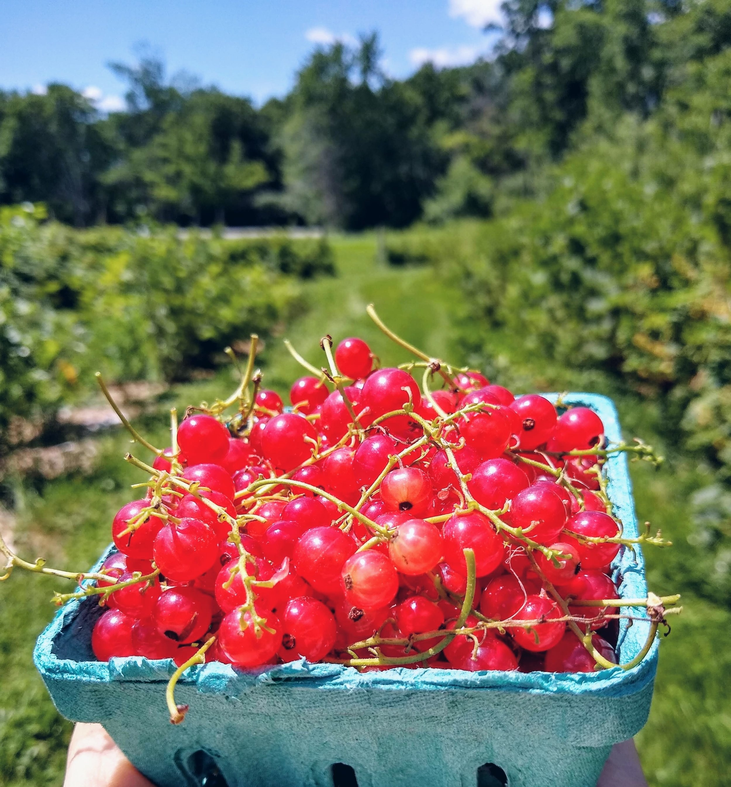 Organic red currants from the Codman orchard