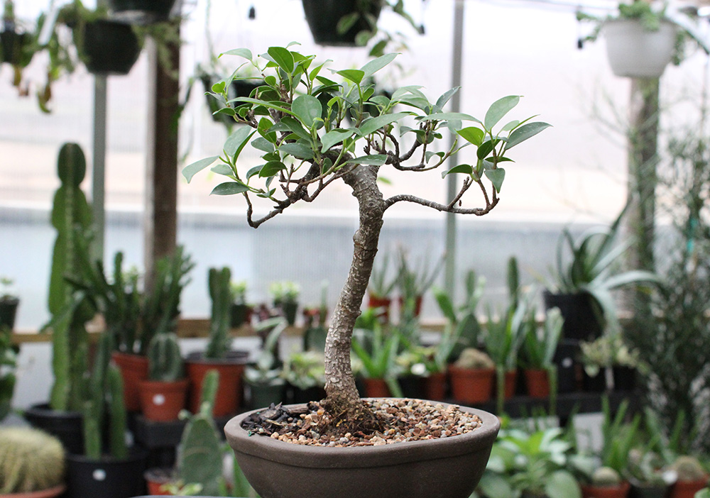 BONSAI TREE 1.jpg