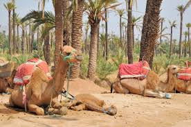 HALF-DAY CAMEL RIDE IN THE PALMAERIE