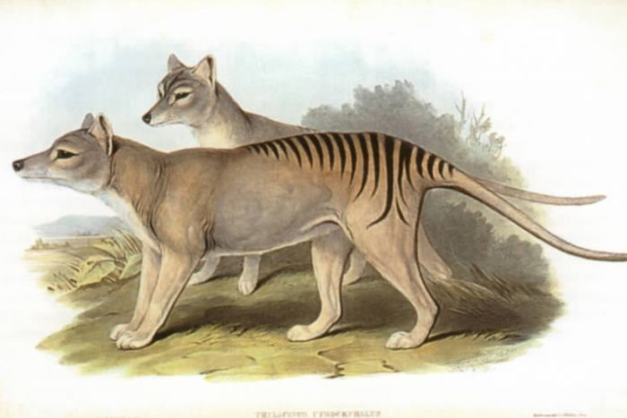 An artist's rendition of thylacines. (Wikipedia Commons: John Gould)