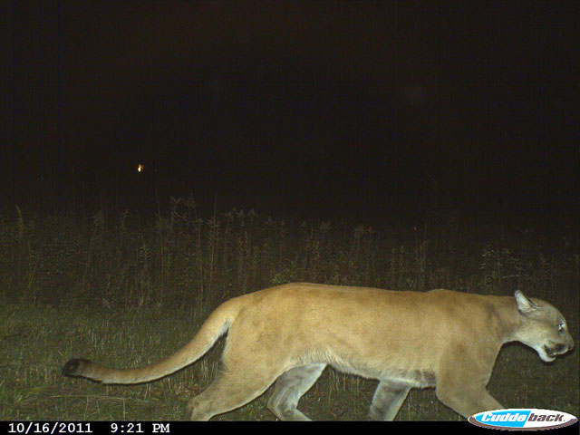 2011 photo of a mountain lion in Juneau county, Wisconsin, approximately 150 miles from Milwaukee. (Image source: dnr.wi.gov)