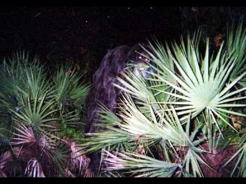 One of the purported pictures of the Myakka skunk ape