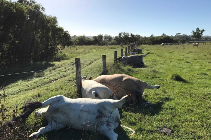 The cows were lying in a straight line, with their heads between the wires of a nearby fence. (Image credit: Derek Shirley)
