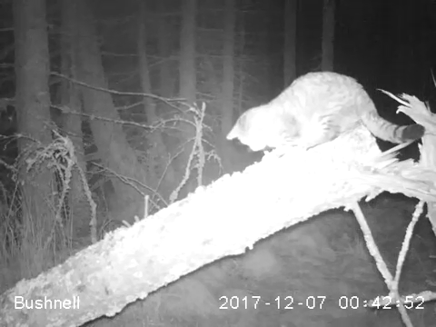 A still image taken from the camera trap footage.  (Image credit: Wildcat Haven)