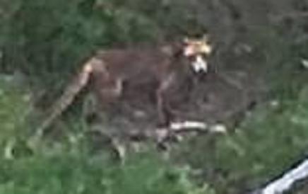 Thylacine_Peter+Groves_enlarged.png