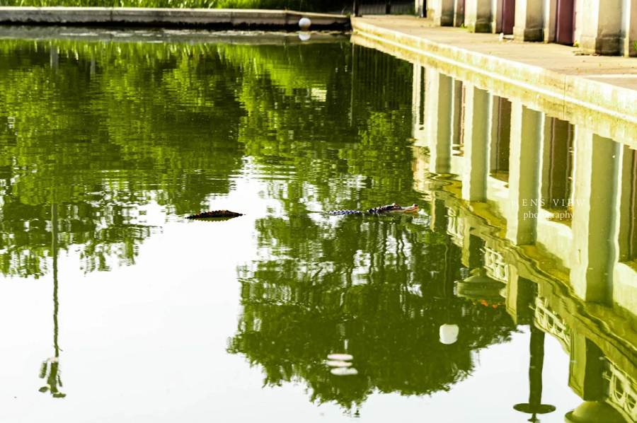 Photographer Rencie Horst-Ruiz took this picture of the alligator at 6:30 a.m. on July 9th.  (Ren's View Photography)