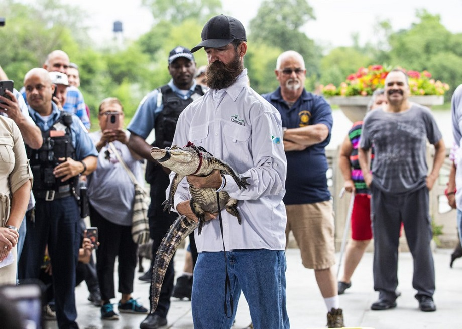 Frank Robb of St. Augustine, Florida captured the alligator early Tuesday morning.  (AP Photo / Amr Alfiky)