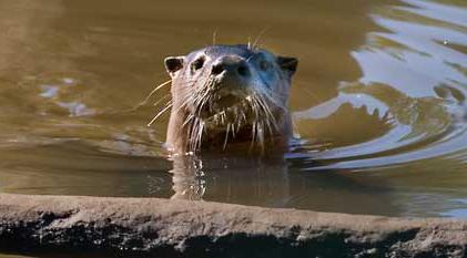 Willapa. River Otter..jpg