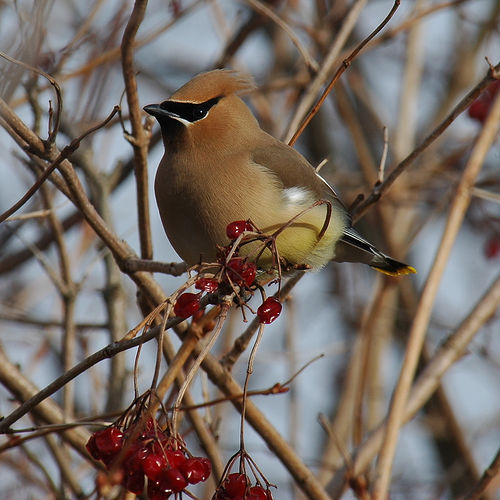 Cedar Waxwing Winter.jpg