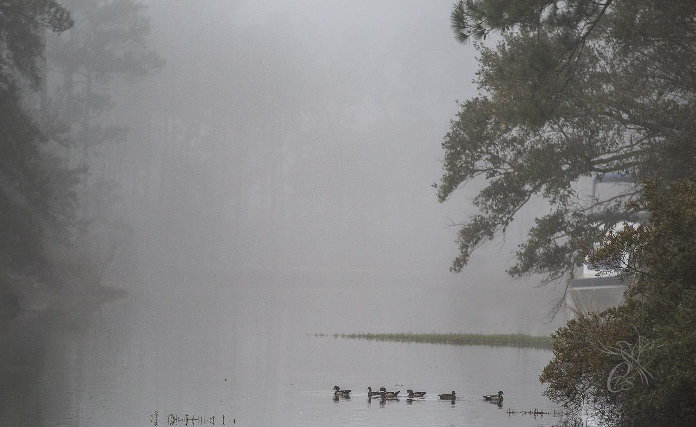 Mallards in the Fog