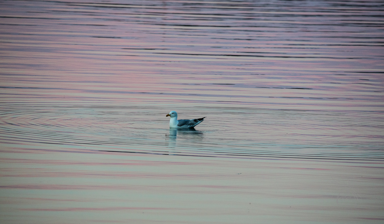 Nova Scotia: Seagull at Sunset