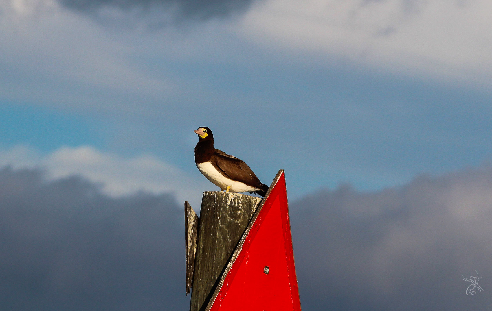 Brown Booby in Lake Pontchartrain