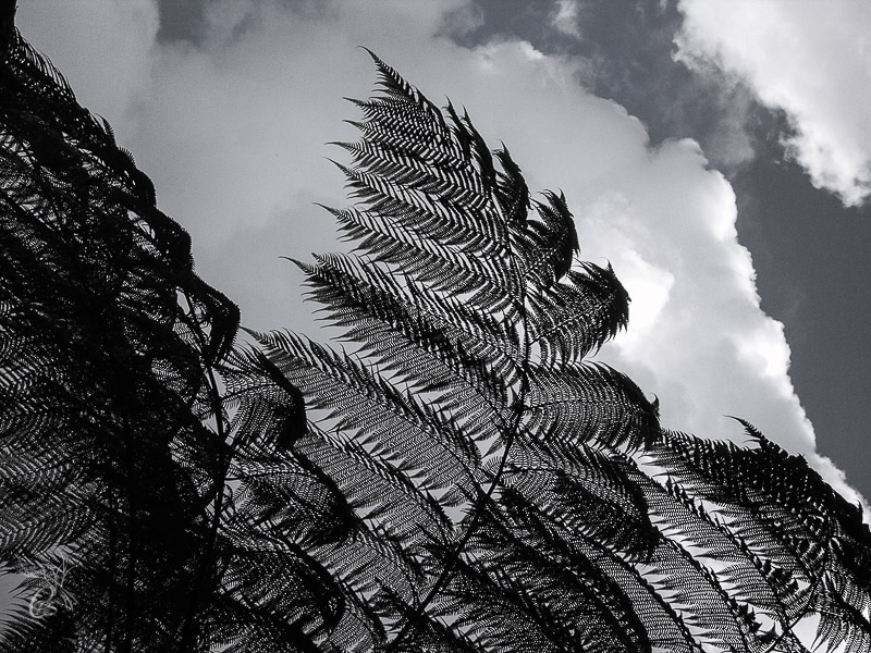 Fronds in the Sky