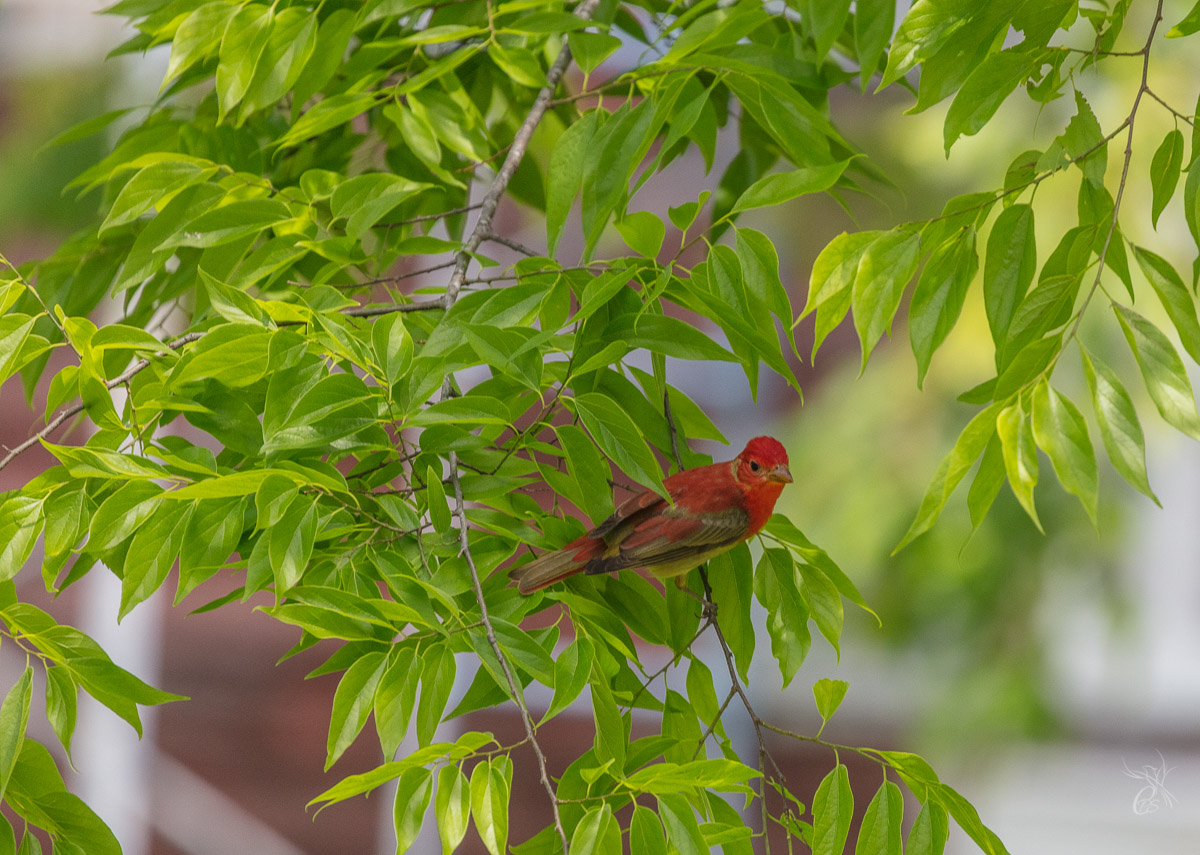 A scarlet tanager on Grand Isle, LA