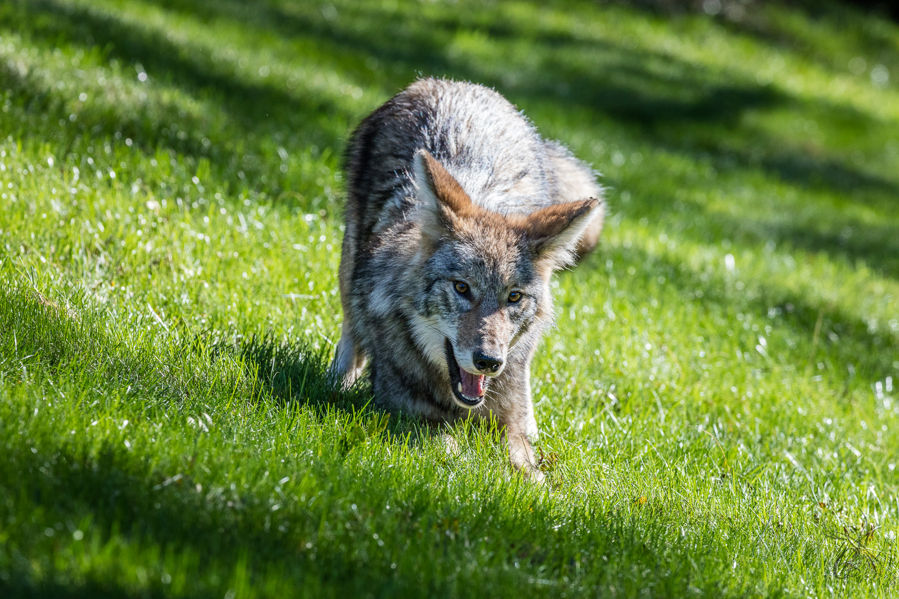 Coyote Play