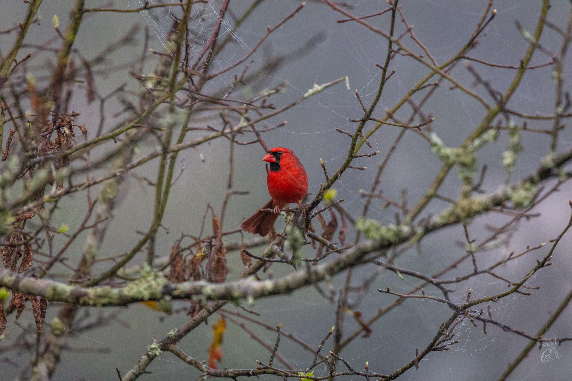 Cardinal in the Fog