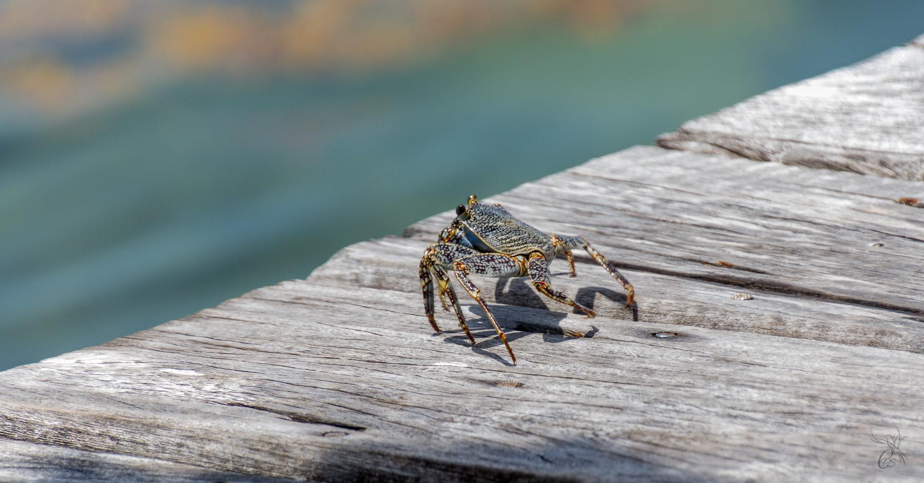 Belizean Crab
