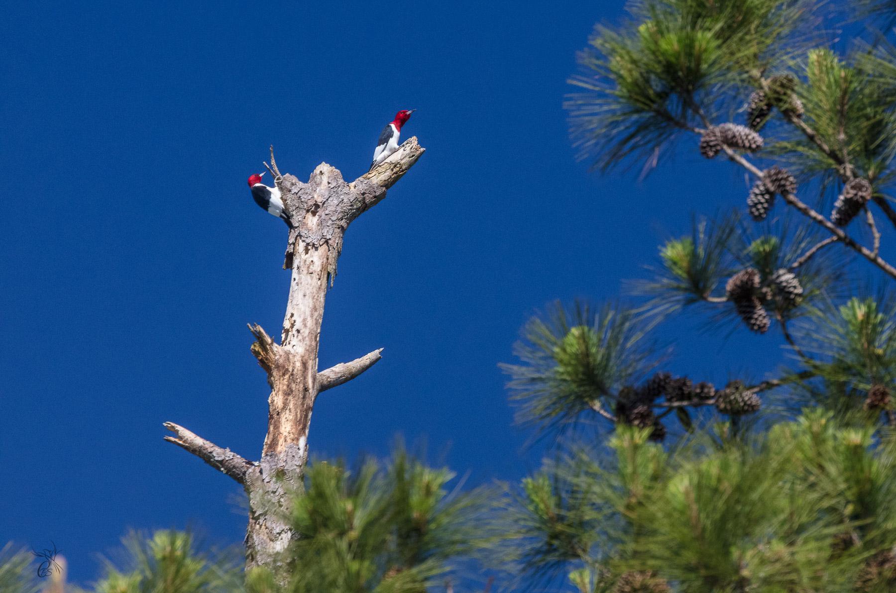 Snag Tree Woodpeckers