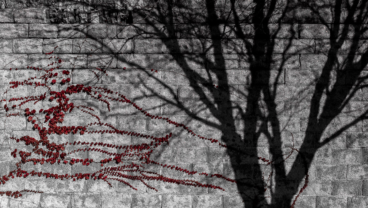 Tree Silhouette with Red Vine