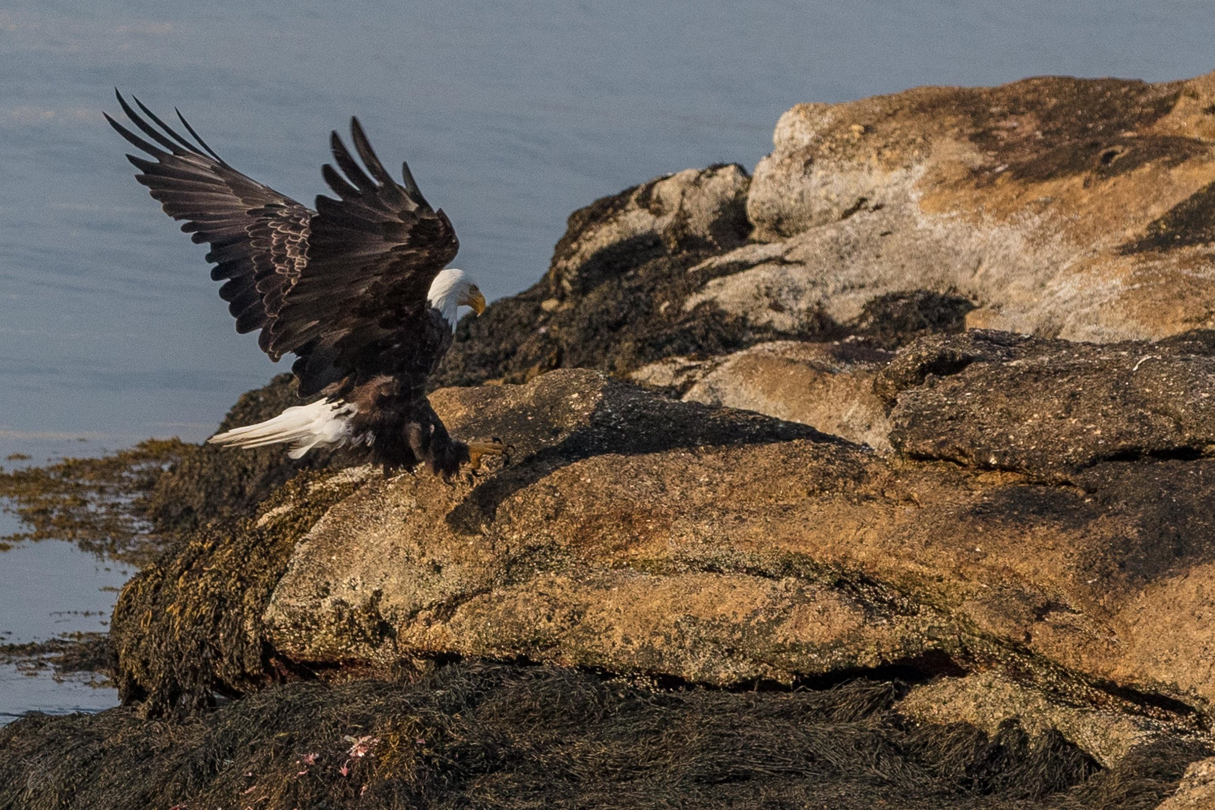 Eagle fishing at low tide