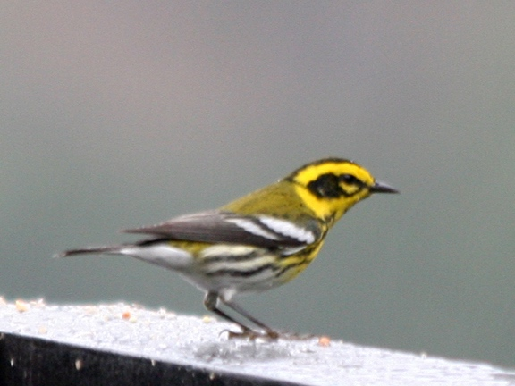 Photo of Townsend's Warbler taken in October by Kay Loughman from her deck overlooking Claremont Canyon.