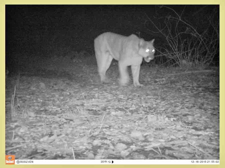 A mountain lion traversing the wildlife corridor above the Caldecott Tunnel is captured by the Bobzien study's remote camera.