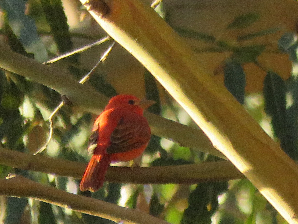 JC summer tanager 339 KB.jpg