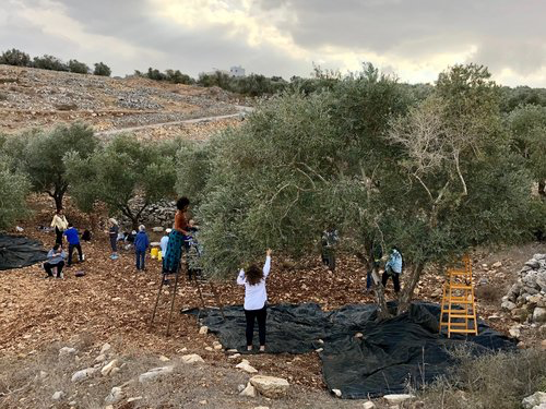 Our delegation harvests olives on the Yasin family farm.