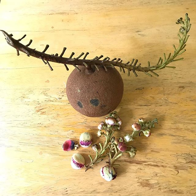 Ayahuma seed pod and flowers, harvested with bark for upcoming dieta. #ayahuasca #plantmedicine #shamanism #healing #soulmedicine #shamanicpath