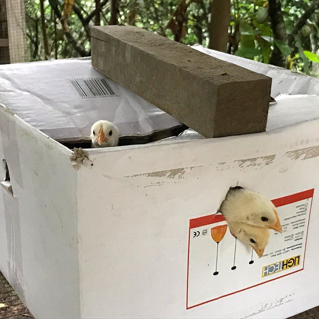 New chicks are susceptible to the cold air at night, so they sleep in this warm box. The fresh organic eggs are the food highlight of a dieta, and you may well have one of these young mums in the making to thank!