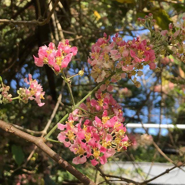 Rare flowering of Ayahuasca colarada #ayahuasca #ayahuascaretreat #ayahuascaceremony #shamanicpath #medicinalplants #sacredmedicine #sacredplants #unityconsciousness #entheogenic