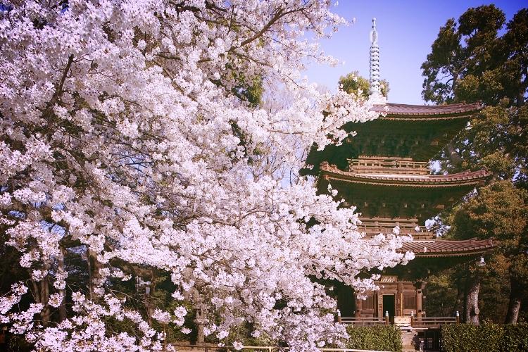 chinzanso blossom.jpeg