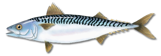 atlantic_mackerel.png
