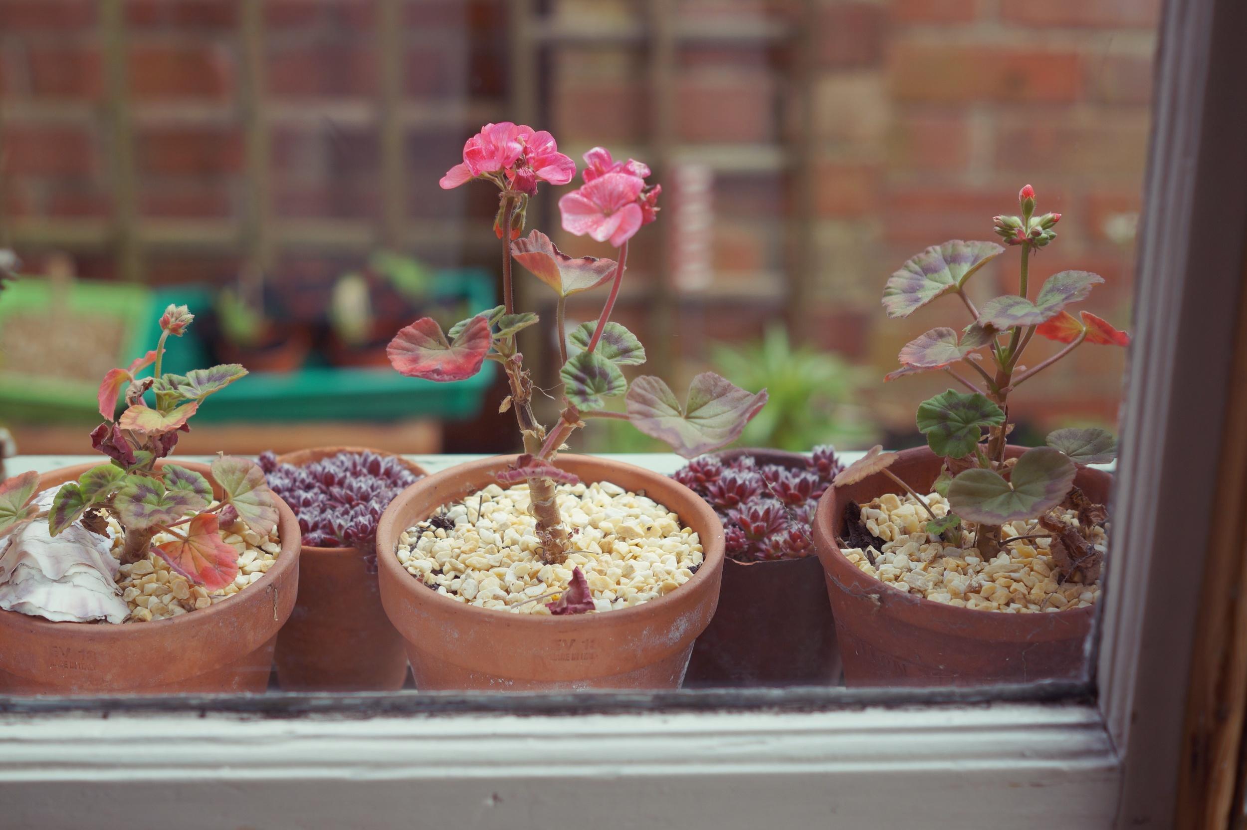 succulents & Geraniums.jpg