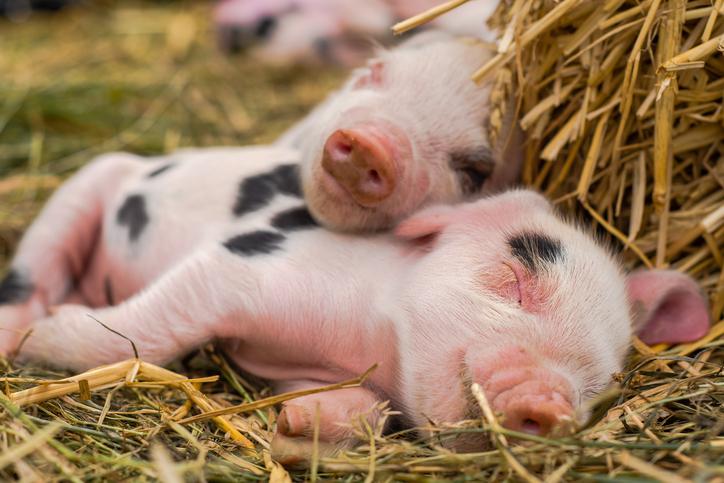 Piglets Sleeping - Baby Pigs - Cumberland Buildings Animal Shelters