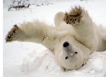 polar-bear-crazy.jpg