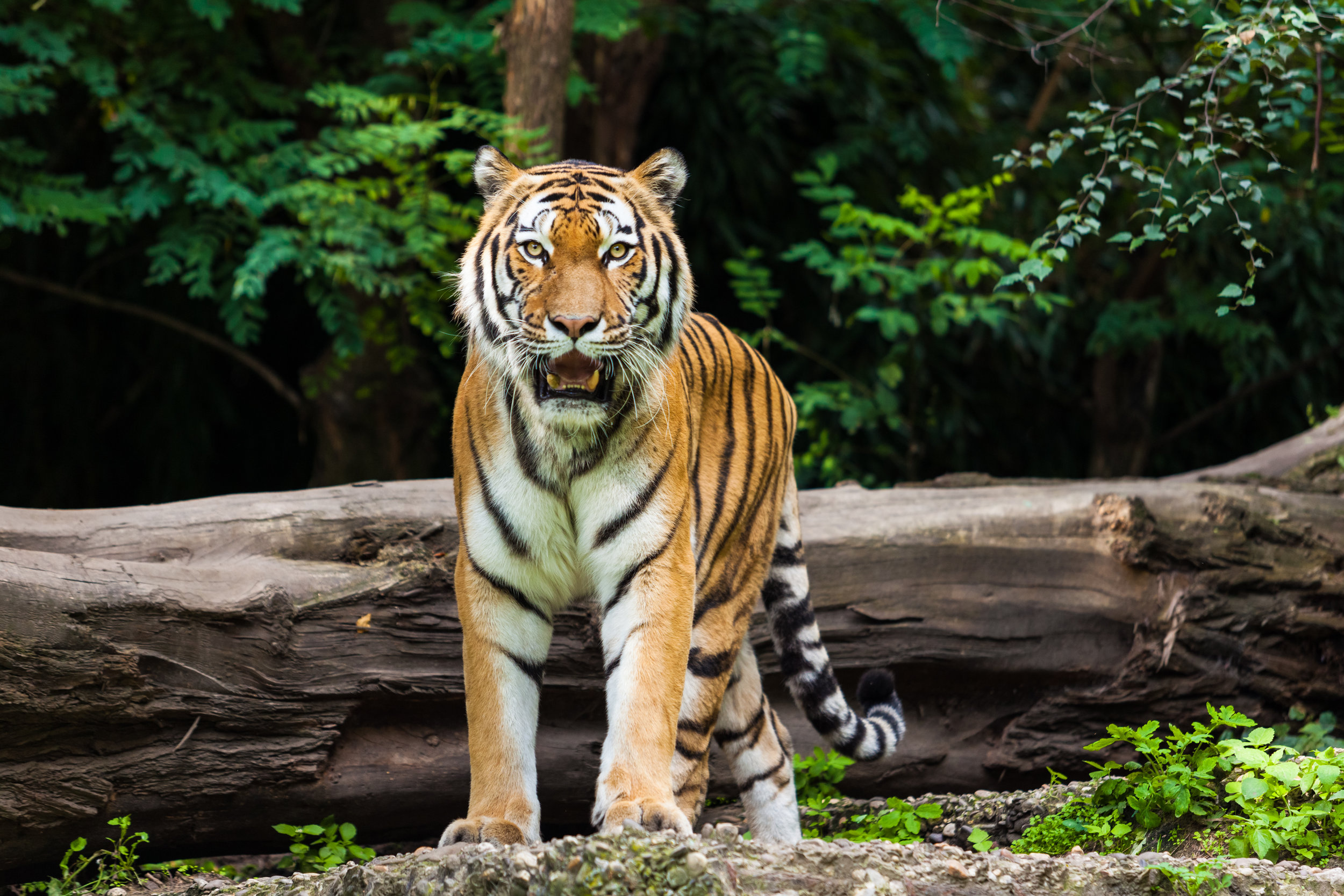 tiger image.jpg