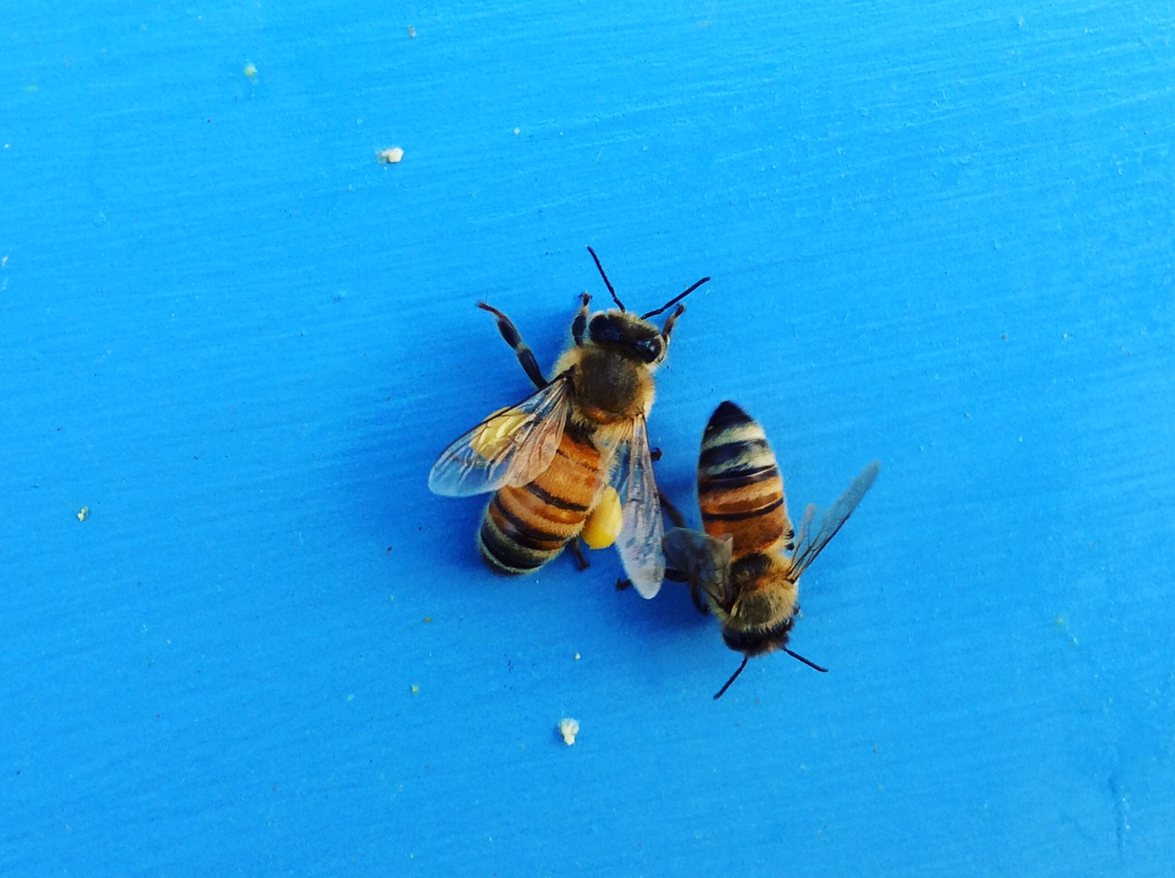 Bees returning to their hive laden with pollen, photos by Chris Belardi.
