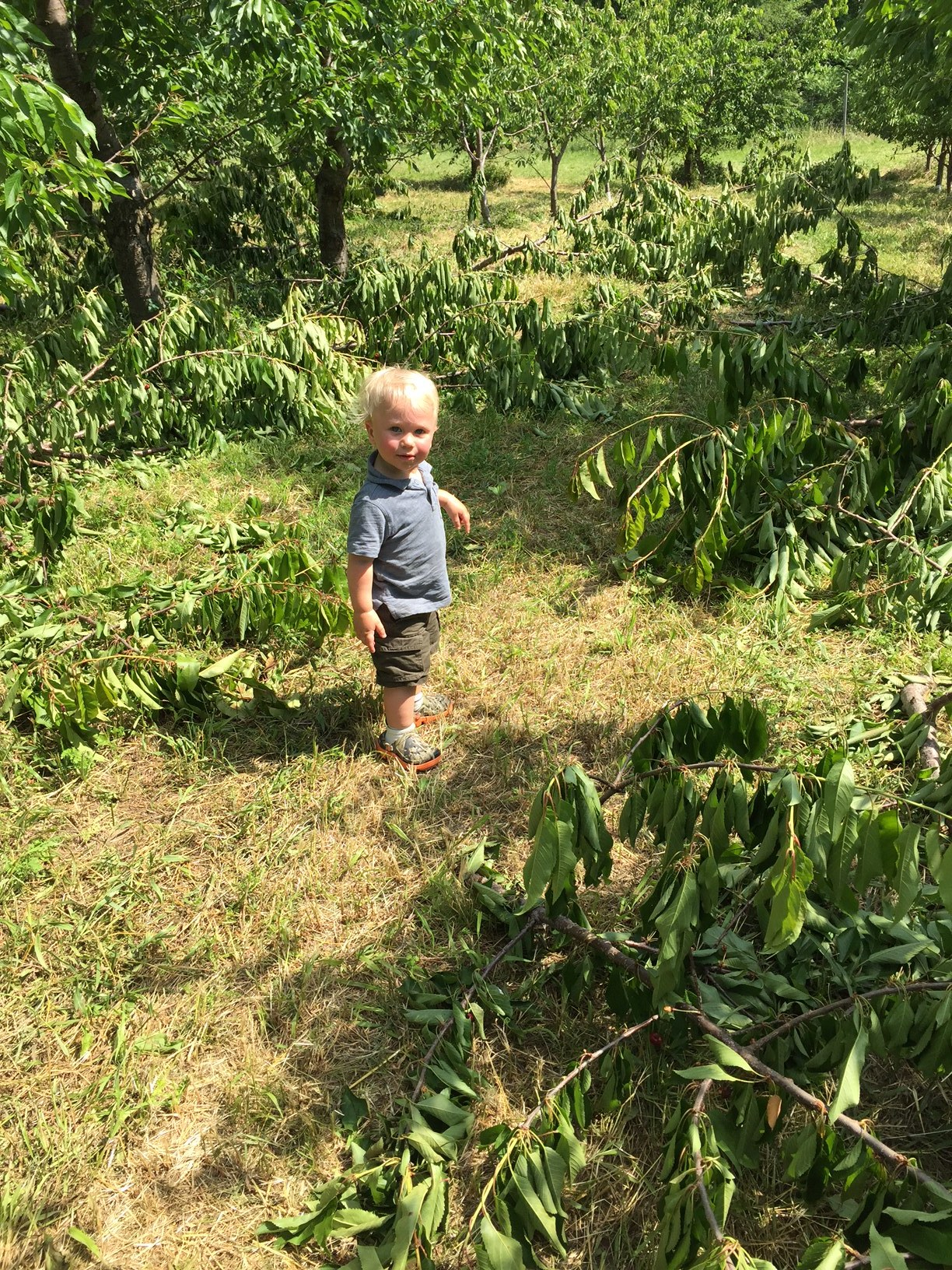 George's first time picking cherries