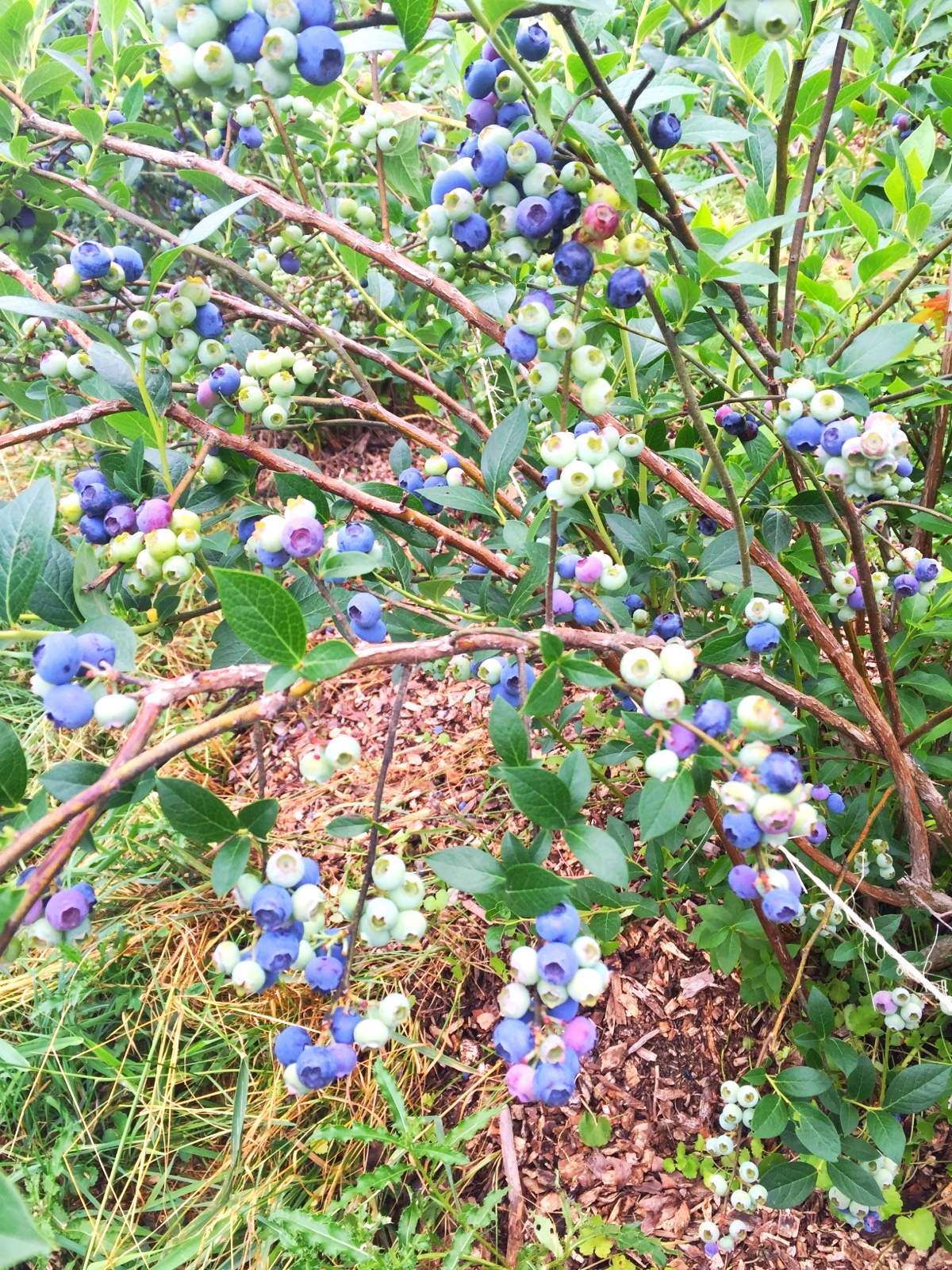 Blueberries Hudson Valley Pick Your Own